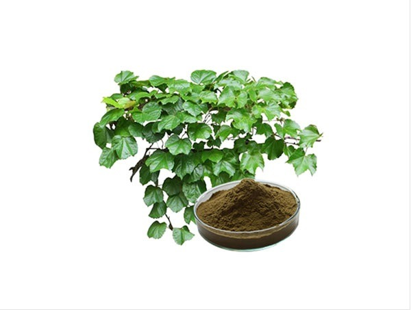 China IVY Extract IVY Leaf Extract Hedera Helix - China IVY Extract, IVY  Leaf Extract