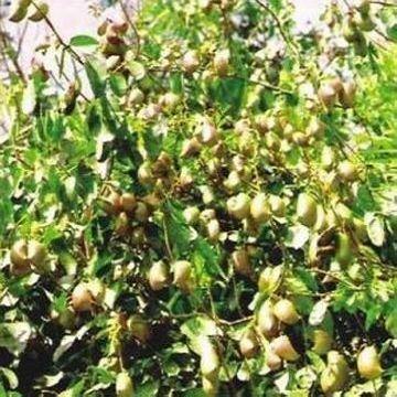 Achat Griffonia Simplicifolia - Traitement de vos troubles anxieux - Virages Consultations