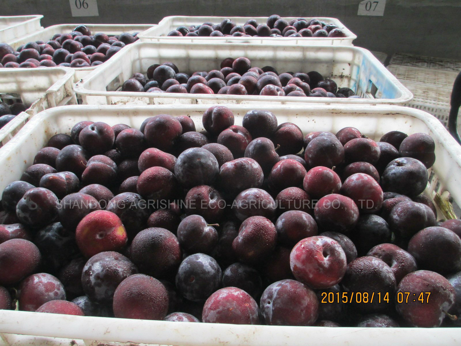 IQF Plum or Frozen Plum