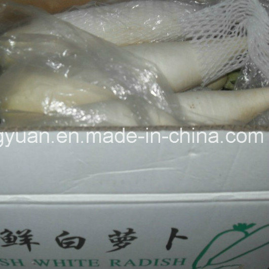 Fresh White Radish with Box Packing pictures & photos