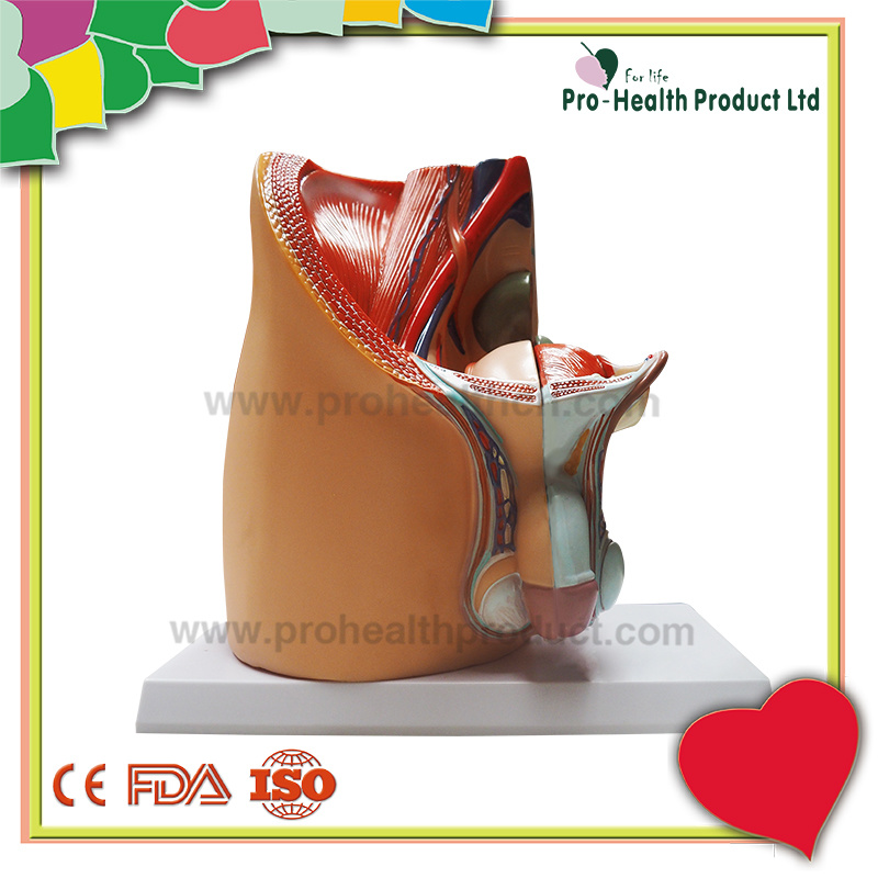 China Life Size 3d Male Genitals Pelvic Cavity Structural Anatomical
