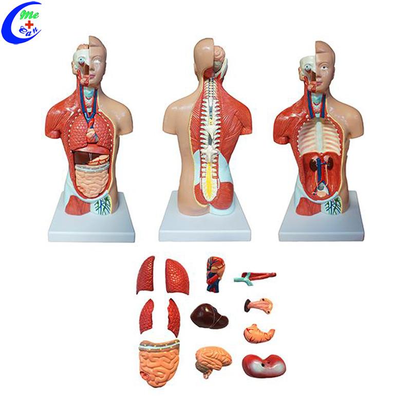 China Human Anatomical Dual Sex Torso Model China Human Body Model