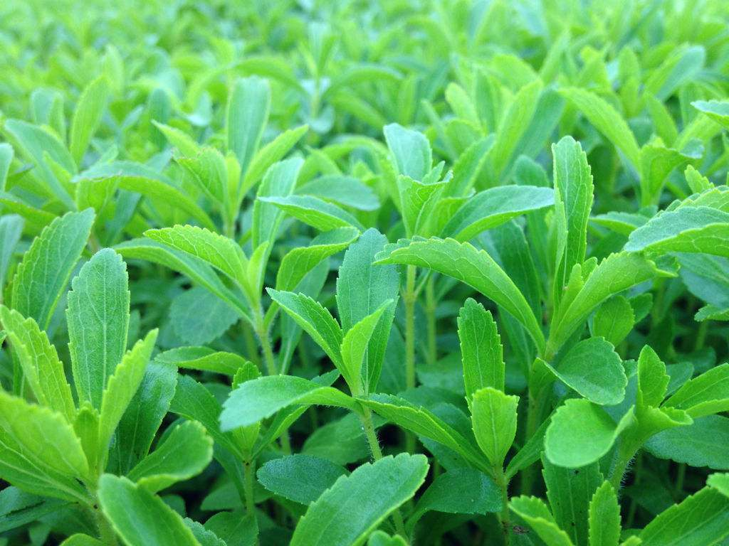 Stevia Extract of Steviosides for Foods and Drinks
