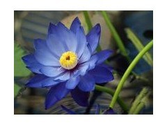China High Quality Natural Blue Lotus Flower Extract China Blue