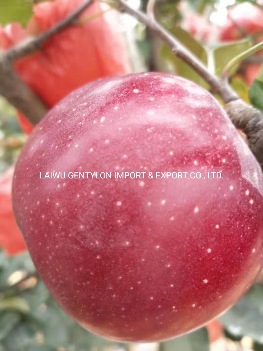 Global Gap Certificated Fresh FUJI Apple pictures & photos
