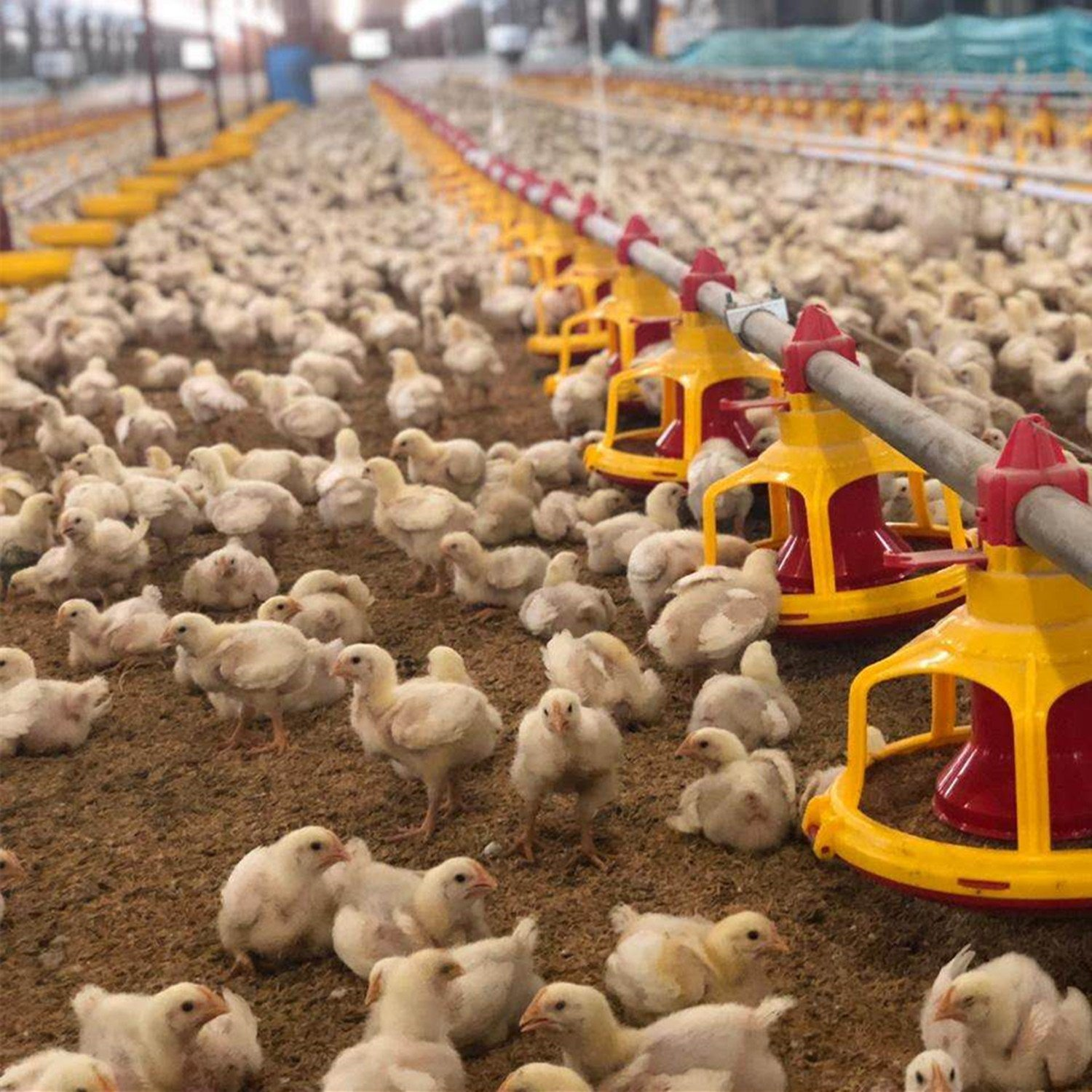 [Hot Item] Low Price Automatic Chicken House Feed Pan Equipment with Super  Quality