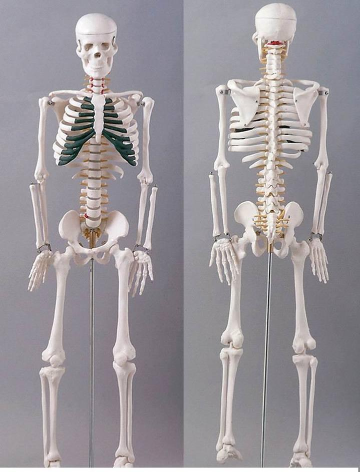 China Plastic Skeletons180cm High Human Skeleton China Plastic