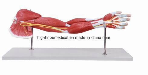 China Bix A1033 Upper Limbs Muscle Anatomy Model China Model