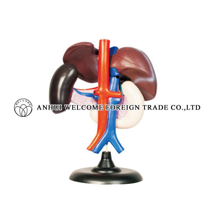 China Spleen, Pancreas, Liver, Duodenum Anatomical Teaching Model ...