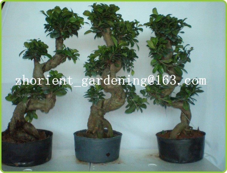 China S Shaped Ficus Ginseng Microcarpa Mini Potted Bonsai Tree