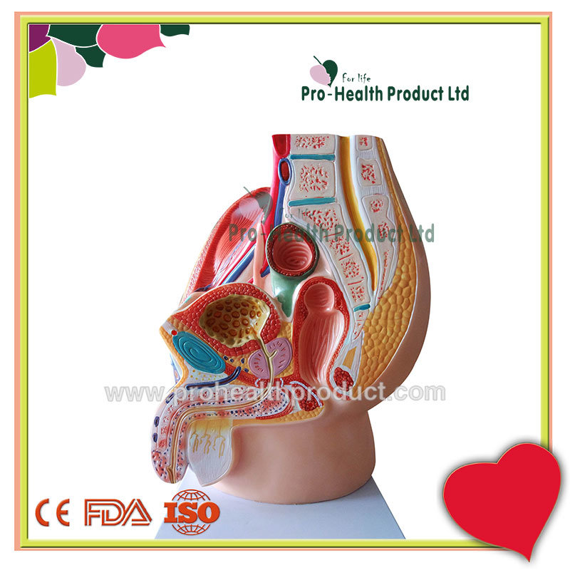 China Life-size Male Genital Urinary System Anatomical Model - China ...