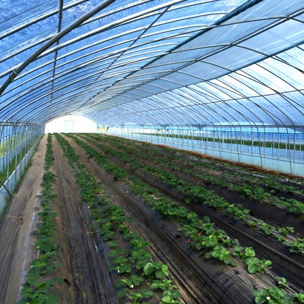 China Industrial Tunnel Greenhouse For Vegetable/Fruits/Lettuce   China  Tunnle Film Greenhouse, Plastic Tunnel Film Green House