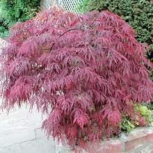 China Acer Palmatum Atropurpureum China Bloodleaf Japanese Maple