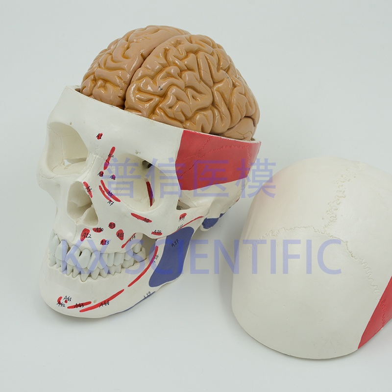 [Hot Item] Skull with Muscle Insertion Life Size 8 Parts Human Brain Model