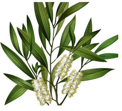 China Best Tea Tree Oil Price Anti Acne 100% Natural Pure