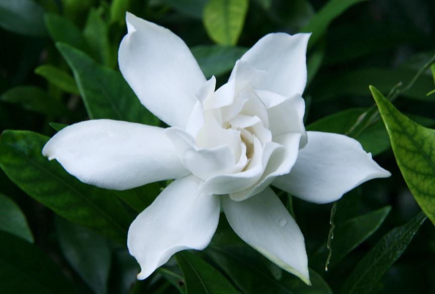 China Top Quality Gardenia Jasminoides Ellis Cape Jasmine Fruit