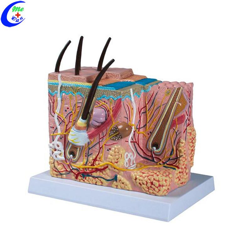 Human Skin Anatomy Model - China Skin Model, Human Skin Model    Made-in-China.com