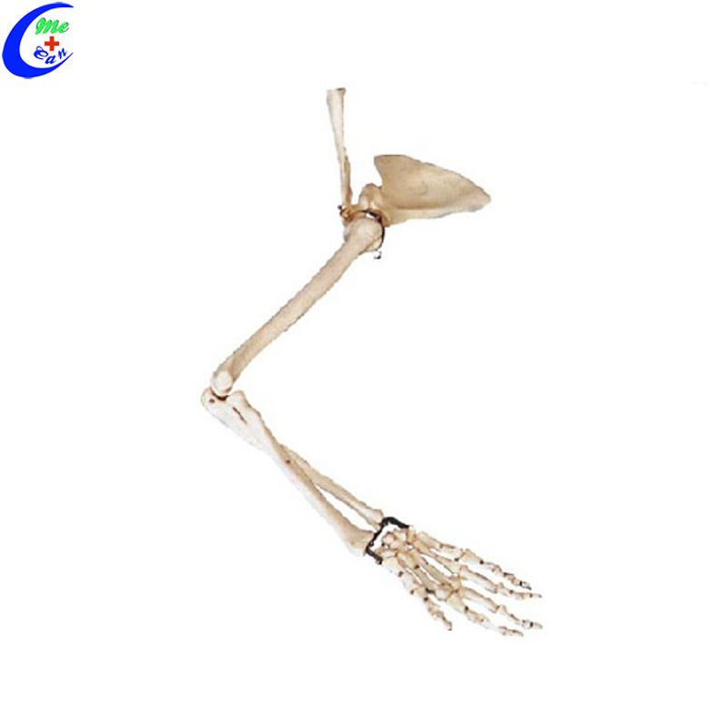 China Educational Human Skeleton Hand Bone Model China Bone Model