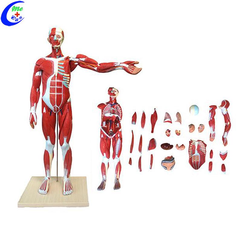 China Human Whole Body Muscle Anatomy Education Model China