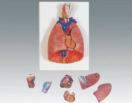 El modelo humano Órganos torácicos (QH3322)