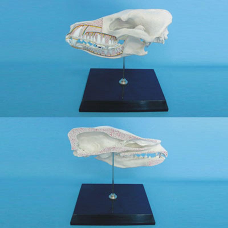 Foto de Anatomía de la cabeza de perro del modelo de esqueleto para ...