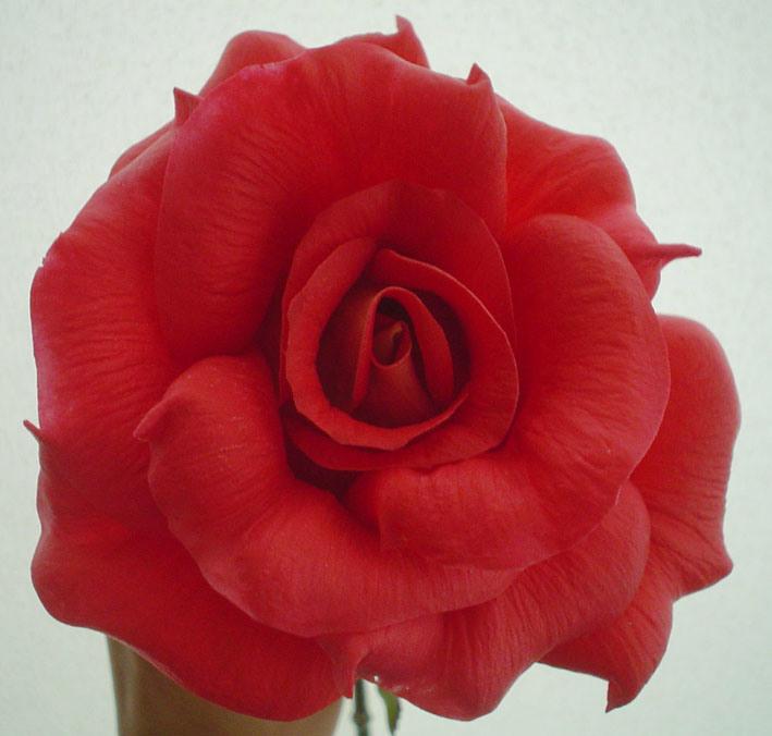 빨간 로즈