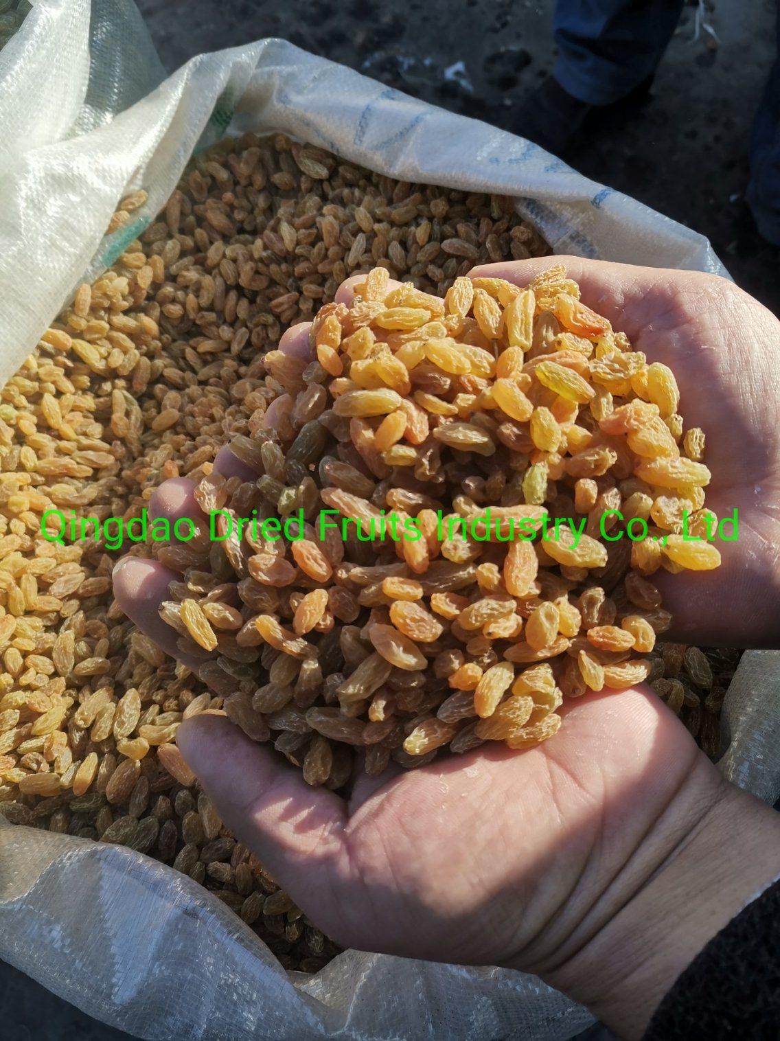 말린 노란 건포도 최신 판매는 신장 공장에서 황 없이 열매를 맺는다