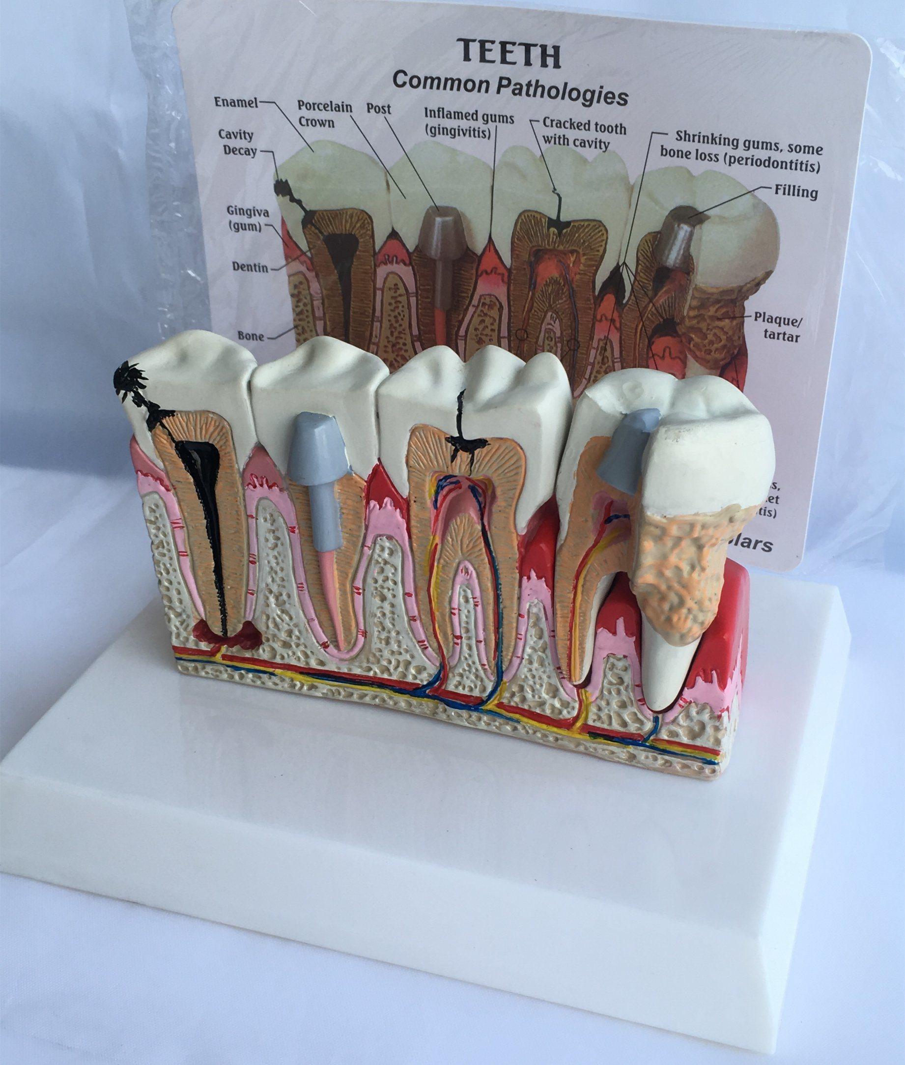 La enseñanza de uso de los dientes cuidado dental de anatomía ...