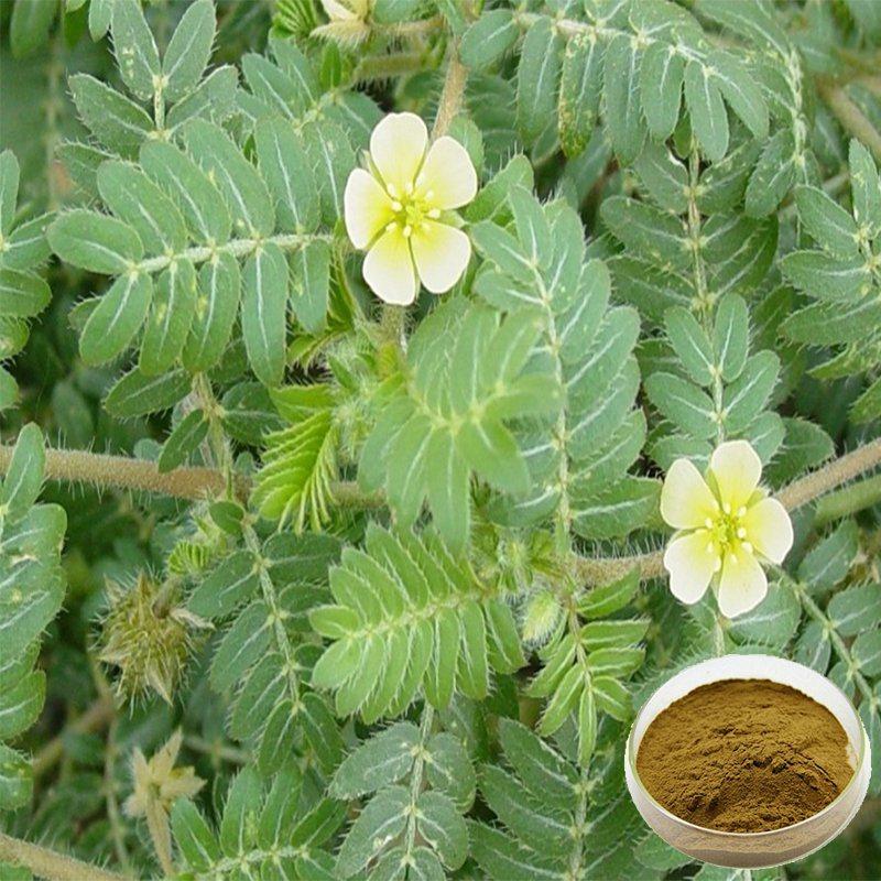 Chine Tribulus terrestris extrait Protodioscin 10%-40% – Acheter ...