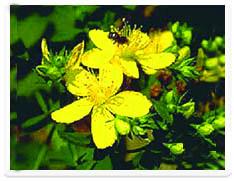 St.ジョンのウワートの植物のエキス