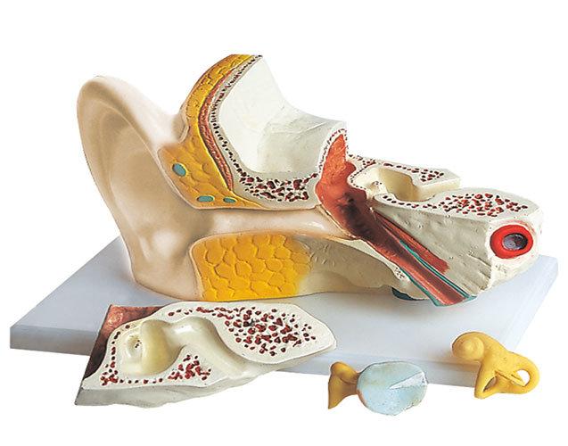 Menschliches Ohr-Modell (QH3310-5)
