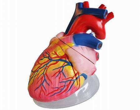 Человеческое сердце модель (5 раза) (QH3304-1)
