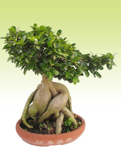 인삼 Ficus (HBH-R02)