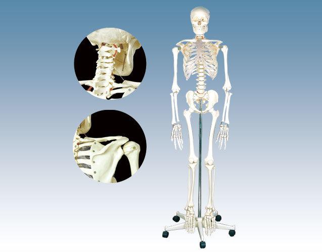 El modelo de esqueleto humano 170cm (QH3302)