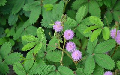 Mimose Hostilis Wurzel-Barke-Puder