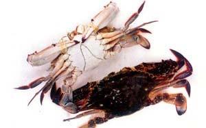 La natation de crabe congelé