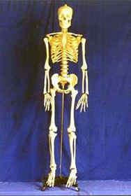 Modelo de esqueleto humano - Gd-0101um
