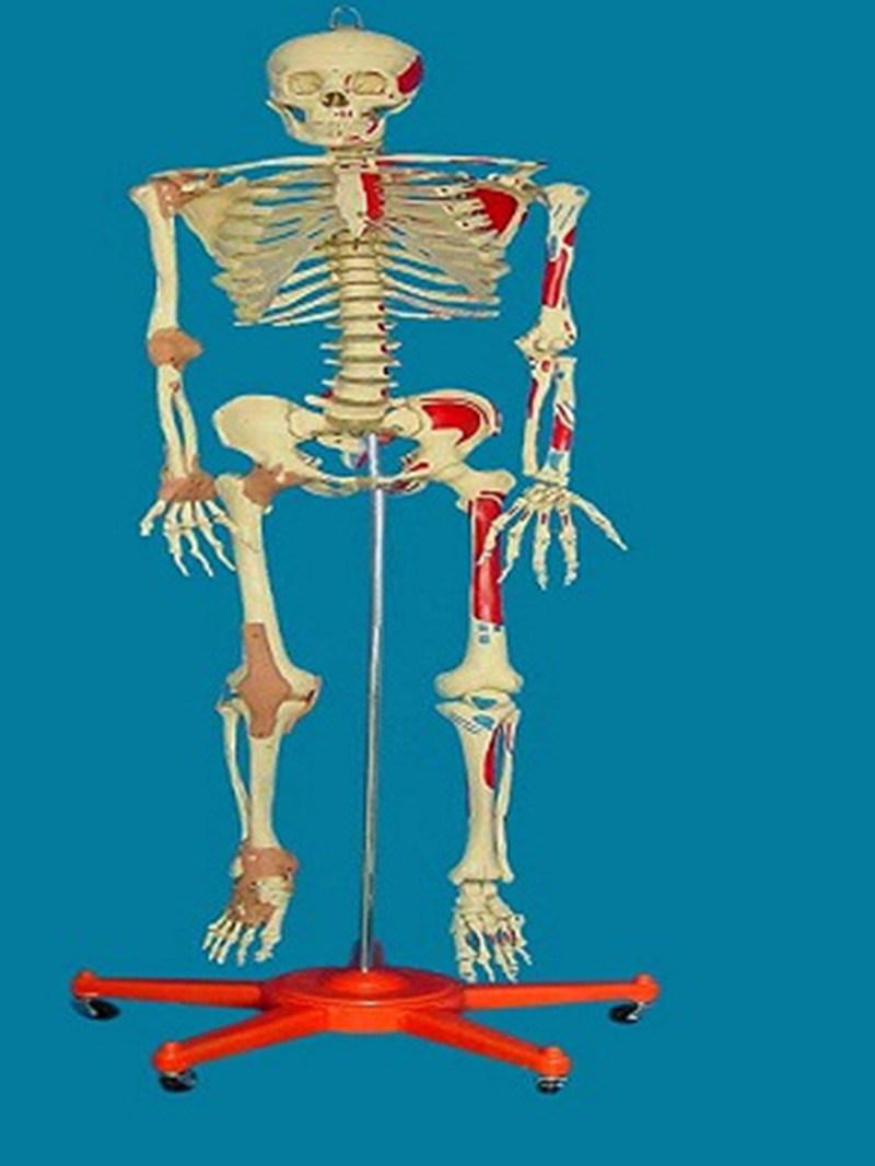 Con la etiqueta de cuerpo humano el esqueleto modelo para la ...