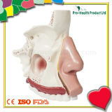 Nasal Anatomy Model for Medical Teaching