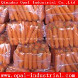New Crop High Quality Chinse Fresh Carrot