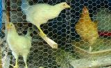 High Quality Best Price Galvanized Hexagonal Wire Mesh Chicken Netting