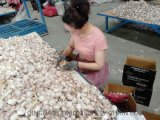 Condiment Fresh Garlic of Factory Hight Quality New Season in 10kg Carton