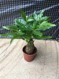 Hot Sale Real Plant Pachira Macrocarpa