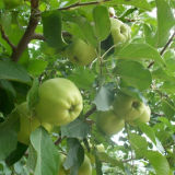 Chinese Fresh Golden Delicious Apple