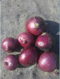 Fresh Onions Price in China