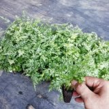 Wholesale High Quality Real Plants Pteris Ensiformis Pteridium Tray/Plug Seedling of Indoor Bonsai Supplier