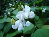 White Hyacinth Bean Extract, 90-17-5, Linoleic Acid/White Lablab Bean Extract