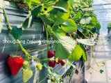 Elevated Strawberry for Agricultural Park/Sightseeing/Botanical Gardens