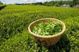 Tea Polyphenol>40%, Green Tea Extract, Plant Extract