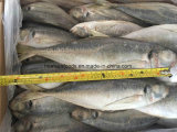 Frozen Horse Mackerel Whole Round for Sale